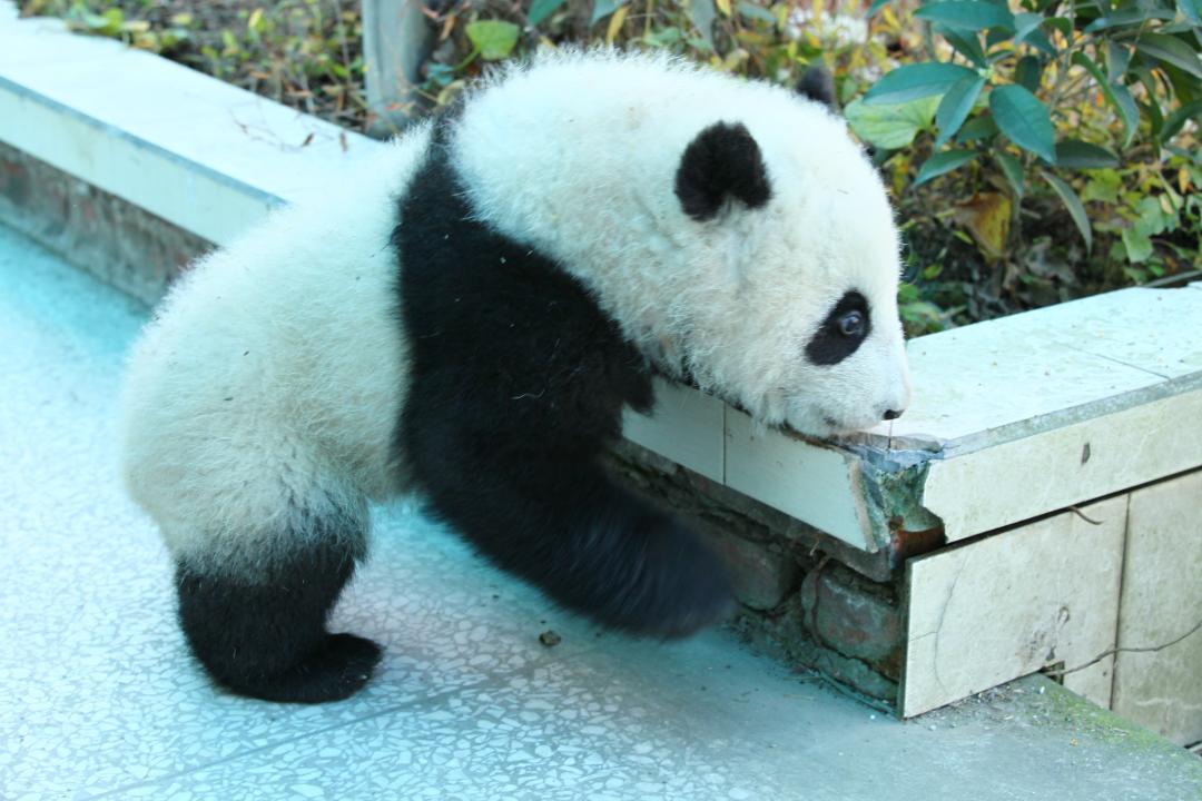 Giant Panda: Tian Bao im Portrait