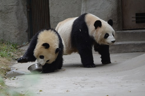 Chengdu Panda Base – Teil II