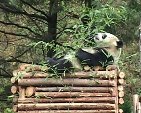 wolongpandic