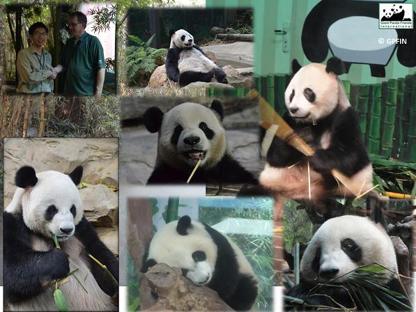 Chimelong Pandas1
