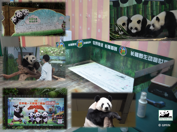 Chimelong Pandas2