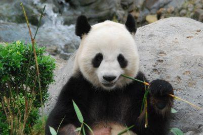 Kommentar: Über die jüngste IUCN Neueinstufung des Status der Großen Pandas