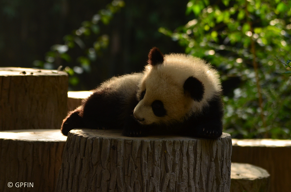 Fünfte Etappe: Chengdu Panda Base