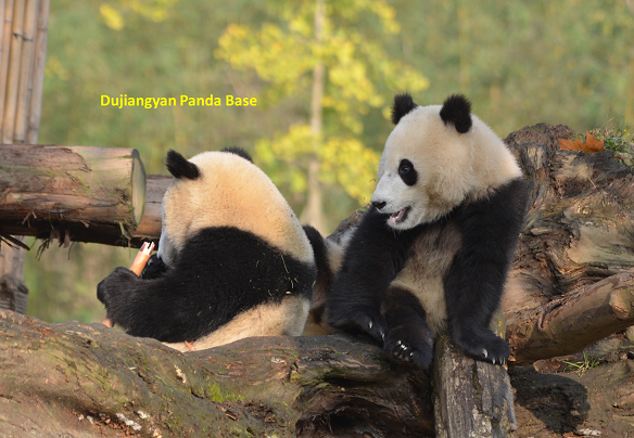 Dritte Etappe: Dujiangyan Panda Base