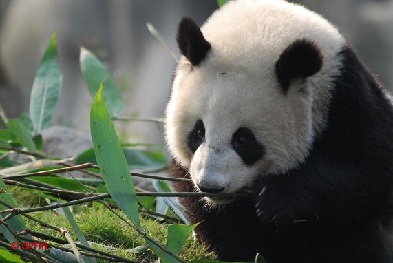 Giant Panda Nationalpark : Sichuan, Shaanxi und Gansu