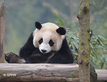 News: Wolong Panda Club wird WAPGPC