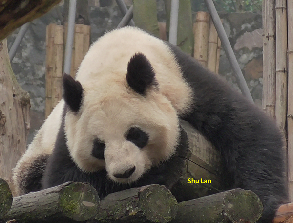 China Exkursion 2018 – Dujiangyan Panda Base