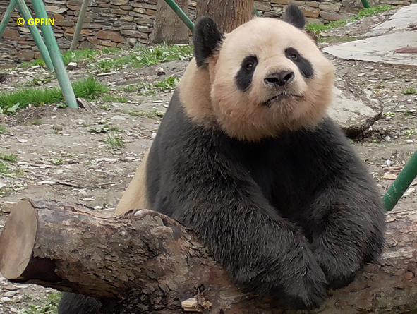 China Exkursion 2018 – Wolong Giant Panda Base