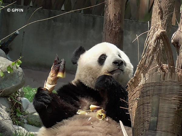 Endziel China Exkursion 2018 – Chengdu Panda Base
